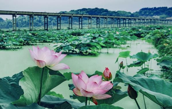 �y�9il�`_早在秦汉时期,花石镇农民就利用池塘,水坝和涓水港湾种莲 花石湘莲小