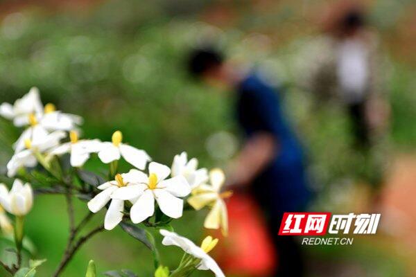 双峰:栀子花开 香满山野