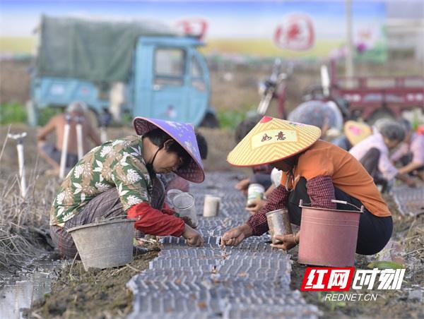 组图|大暑近 农事忙