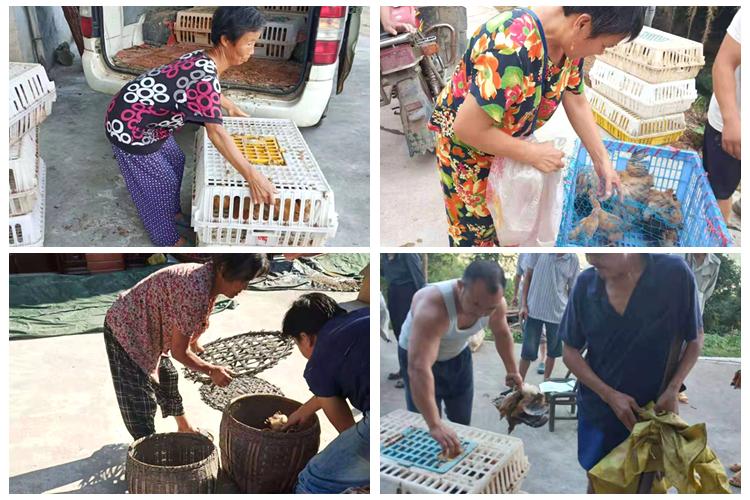中沙镇:发放扶贫鸡苗 助力脱贫增收