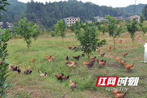 隆回县石山湾村:贫困户当上了农场主