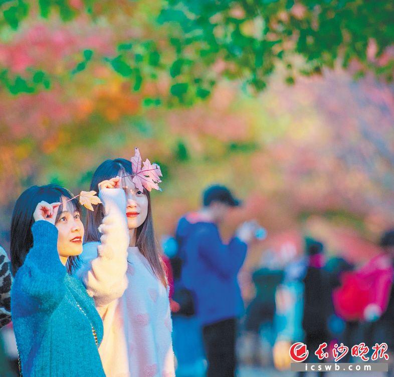 湖南农业大学红枫大道上,女孩拾起枫叶观看。