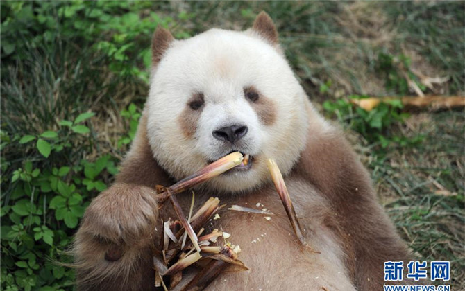 """全球唯一圈养棕色大熊猫""""七仔""""被终身认养"""