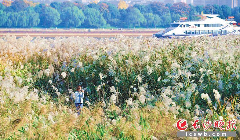 湘江畔,芦花朵朵,市民在芦花中流连忘返。