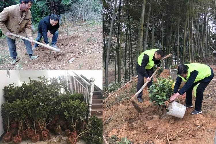林业局:冬日送温暖  茶花种到家