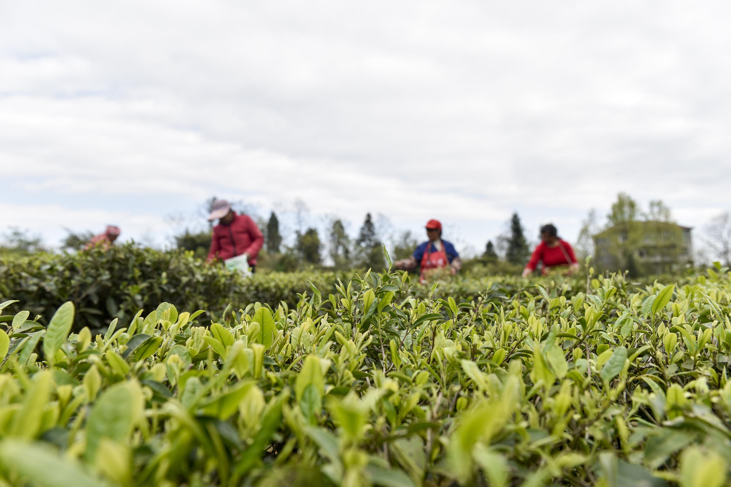 航拍|沅陵:明前碣滩茶开采