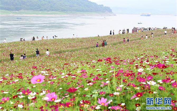 重庆:格桑花开长江畔