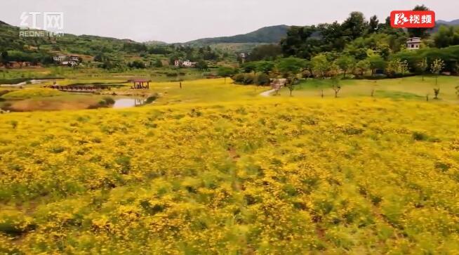 资兴:杭溪湿地黄花开 名曰金鸡菊