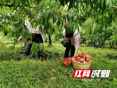南县浪拔湖镇:快来摘!桃子熟了