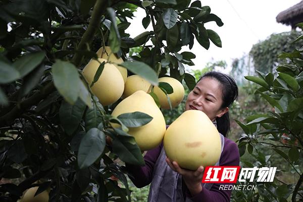 衡阳珠晖区:满地尽是金甲柚