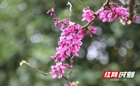 新田:紫荆开花红满枝