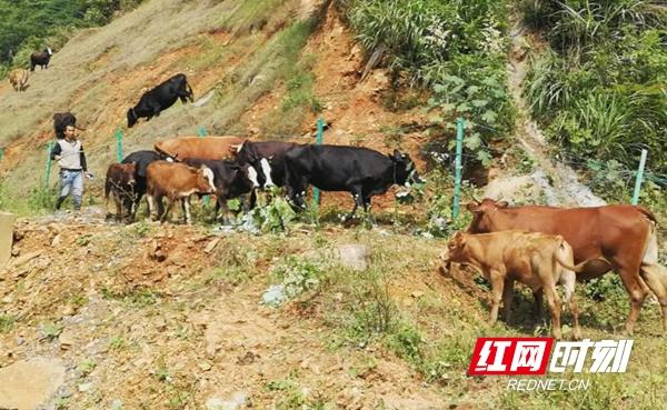 邵阳:牛主人常年放养  牛群破坏护栏上高速觅食