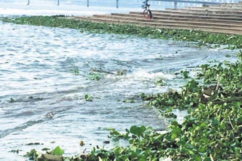 水葫芦顺水漂到湘江长沙段 管理部门立即进行清理