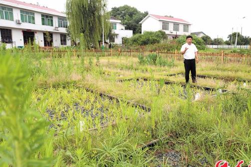 植物大战污水 屋场多了块人工湿地
