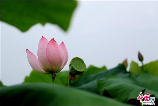 """沅江:昔日""""珍珠塘"""" 今朝荷花园"""