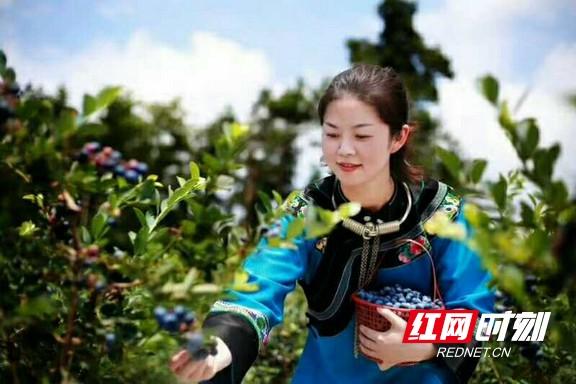 凤凰安井村:300亩蓝莓飘香迎客来