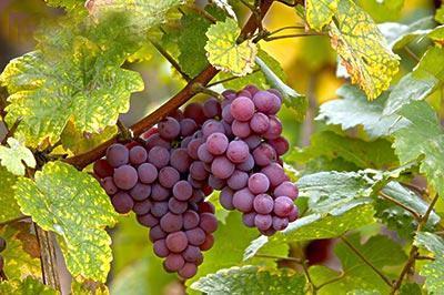 王修明的葡萄事业 日子越来越甜了