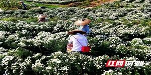 凤凰:百亩七月菊喜获丰收