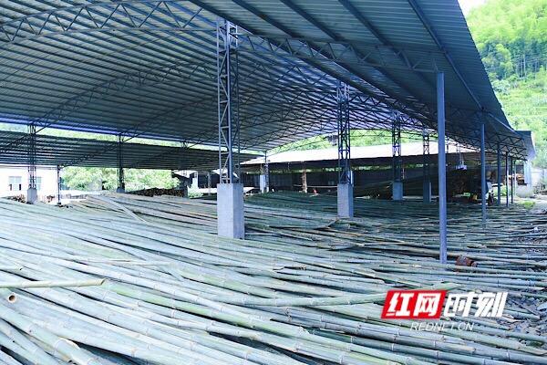 小楠竹  大用途  洪江区速生林引大发展
