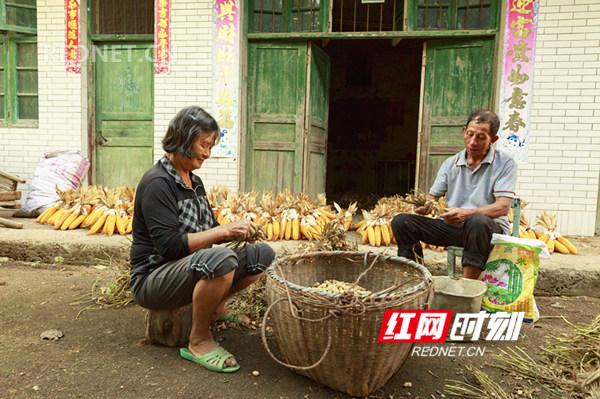 8月8日在东安县大庙口镇彭家村拍摄的秋收景象。(登峰)