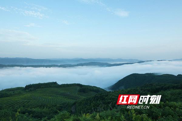 自古香茗出深山,正因为群山簇立、高海拔特殊地理位置,森林覆盖率高,让云台山孕育了特有的野生高山茶,相信你只要来到金蕊茶场,方知好山好水出好茶。