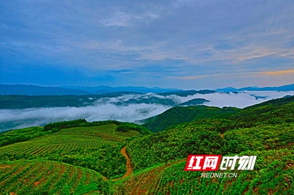 云端上的高山茶园。