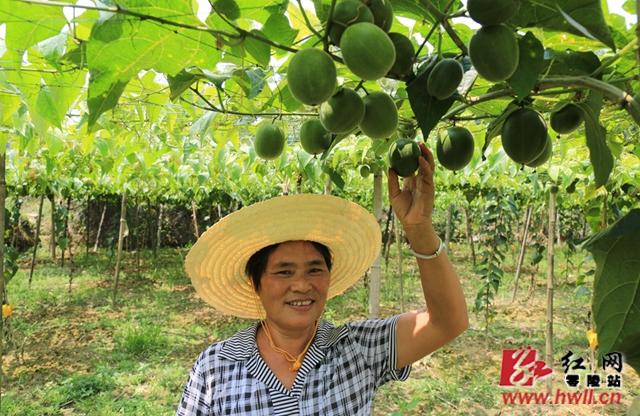 唐凤香,大庆坪乡芬香村4组贫困户,2017年种植了6亩罗汉果,养殖了8头大庆坪土猪,通过大庆坪特产公司收购销售,一年收入约在4万元左右。(陈斌 摄)