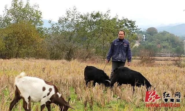 """唐作群,菱角塘镇金坪村村民,大养黑山羊,2017年成功脱贫。""""我养了100多头山羊,搭帮扶贫政策建了新房,不仅要自己脱贫,还要成为其他贫困户的'领头羊'!""""(单建华 摄)"""