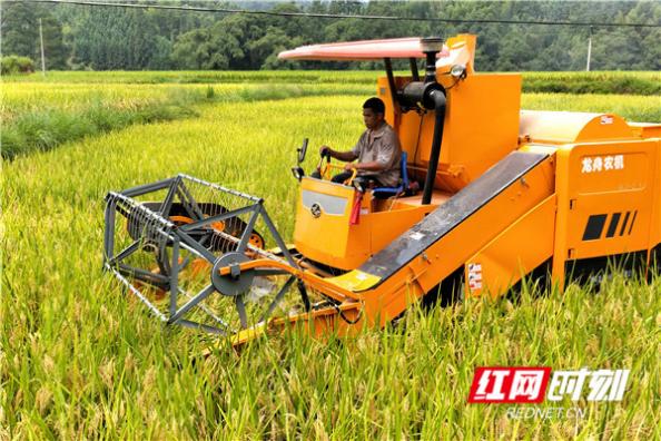 通道:再生稻迎来丰收季