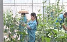 鹤城区成为俄罗斯蔬菜购销基地