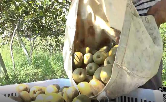 扫码扶贫:黄金坳镇仇家村15万斤高山猕猴桃成熟待售