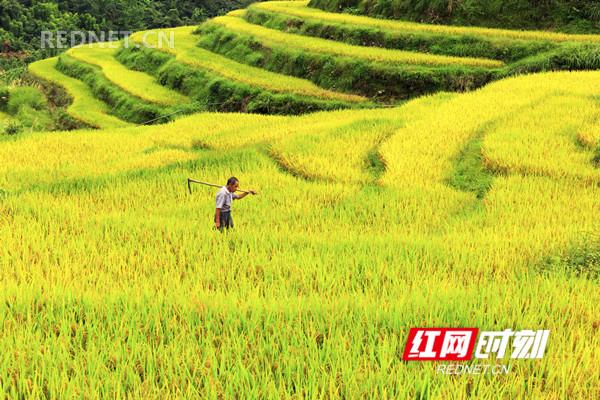稻谷熟了。9月5日,湖南省东安县塘家梯田一片金黄,农民正在抢收稻谷,确保颗粒归仓。(唐明登)