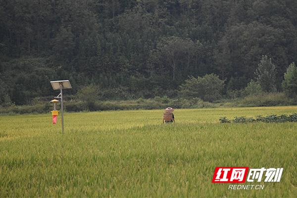 整齐规范的农田里稻谷颗粒饱满。.jpg