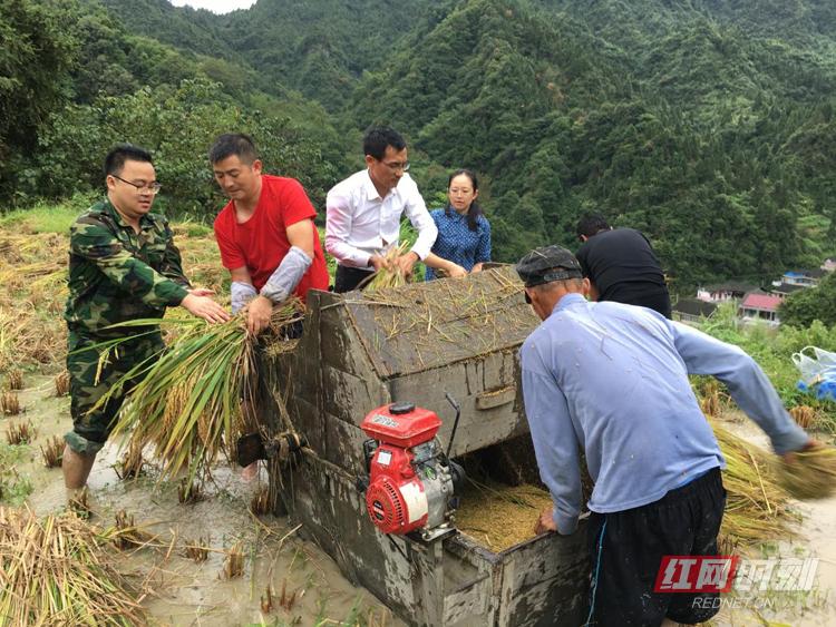 塔臥鎮幫助貧困戶搶收820余畝水稻