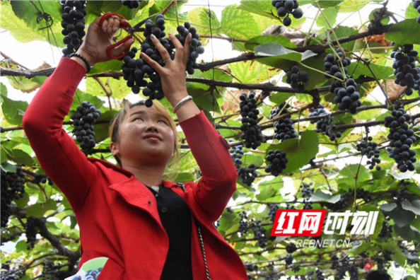 湖南芷江举办首届高山刺葡萄旅游节