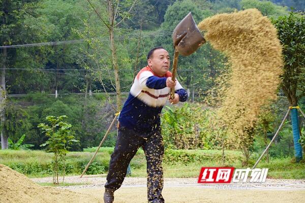 在东风村村部,村民把刚收回的稻子四下摊开,在空中挥舞出一道金黄的巨型稻穗。