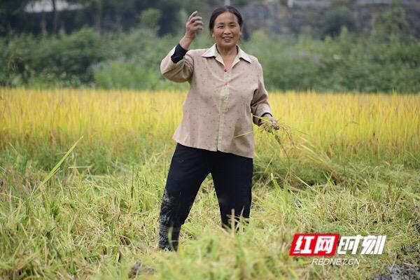 在收割机后面,捡到不少稻穗的大妈笑逐颜开。