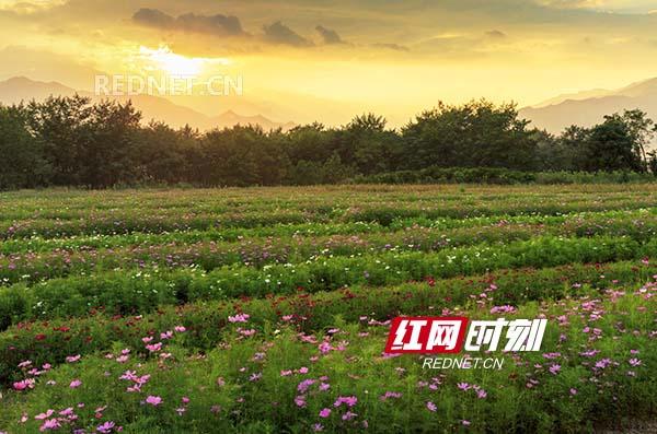 东安县大庙口镇花镜花海迷人眼(组图)