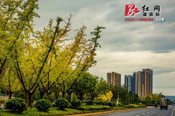 绚烂绽放的格桑花、渐次泛黄的银杏树与高耸的楼房相互衬托,独显精致浪漫。