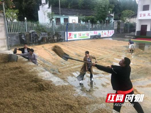 古丈:县环保局驻村工作队冒雨帮群众收谷子2000多斤