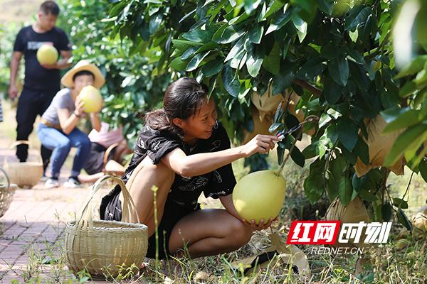 【大地颂歌】金甲红柚熟了!这里的果农日子甜了!