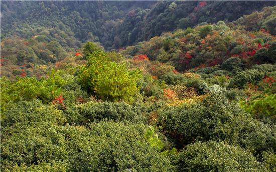 怀化大峡谷秋叶红了  山漆树捷足先登红满峡谷