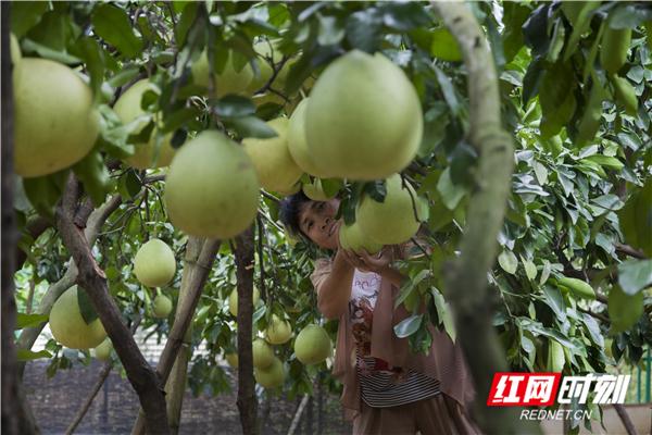 田间地头 同心桥两江口的柚子熟了