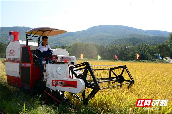 北湖区华塘镇梨园村优质稻喜获丰收,亩产达1100余斤
