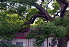 香樟树遐想