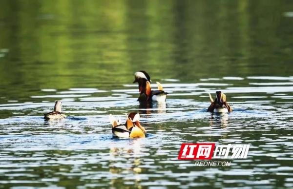 鸳鸯栖息于池沼之上,雌雄常在一起。鸳为雄鸟,鸯为雌鸟,属雁形目的中型鸭类,大小介于绿头鸭和绿翅鸭之间,鸳鸯属于旅鸟,国家二级保护动物,中国濒危动物白皮书列为易危物种。