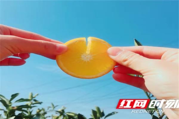 """黔阳冰糖橙丰收:阳光加蜜,""""橙意""""满满"""