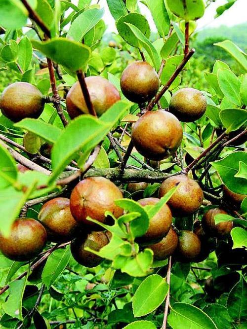 张家界市永定区人民政府关于加快油茶产业发展的意见