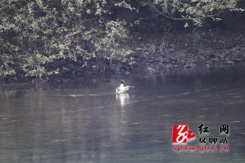 中华秋沙鸭连续第5年到双牌日月湖栖息越冬