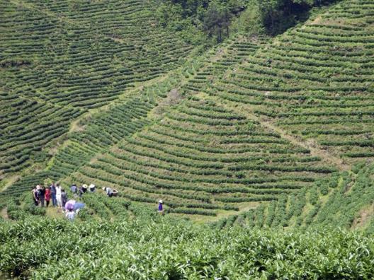 炎陵发展品牌农业助农增收
